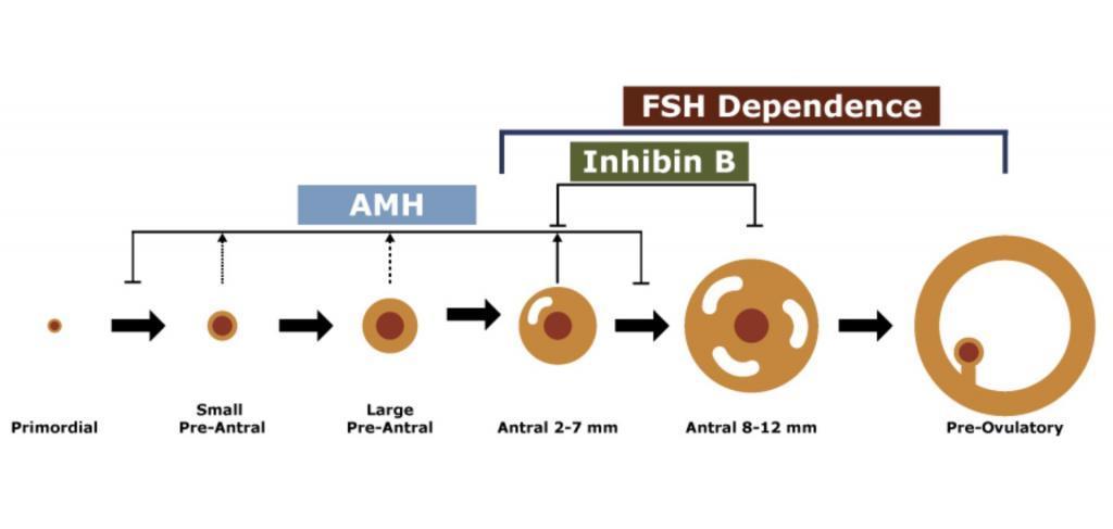 Follicle development with Anti Mullerian Hormone and Follicular Stimulating Hormone